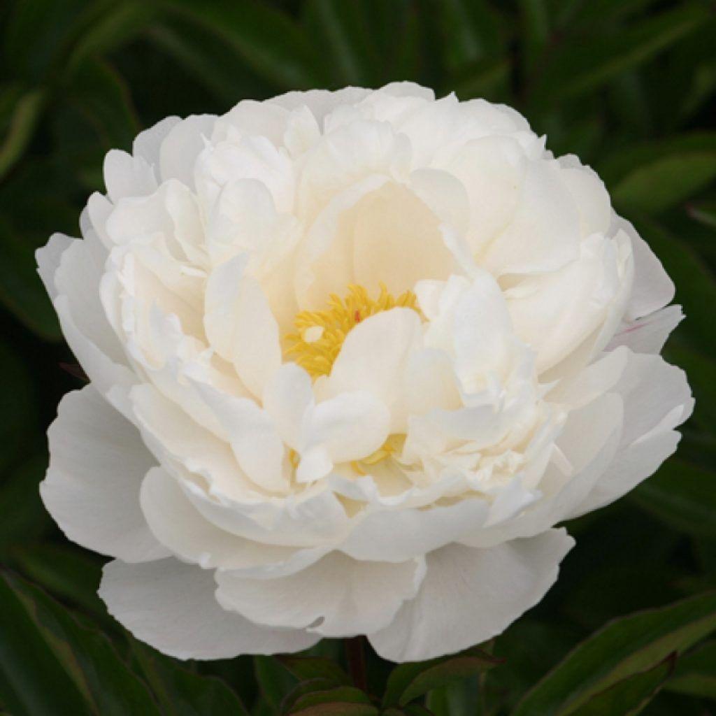 картинка Пион Gardenia ® от магазина СARSTVO.BY
