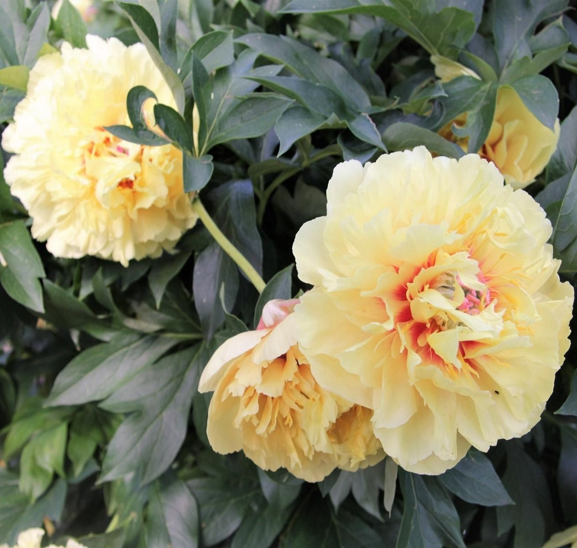картинка Пион Itoh Garden Treasure ® от магазина СARSTVO.BY